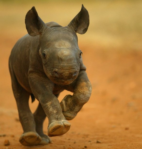 2-week-old-baby-rhino-photography-by-jon-hrusa