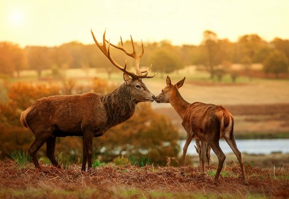 kissing-deer-photography-by-nick-moulds