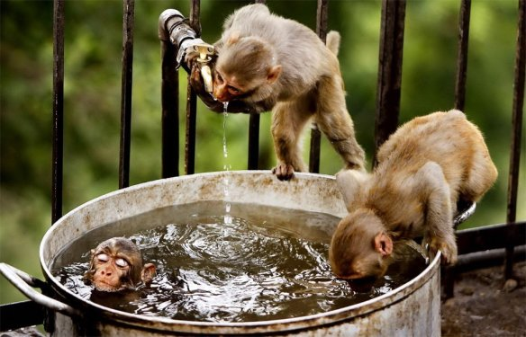 monkeys-bath-time-photography-by-channi-anand