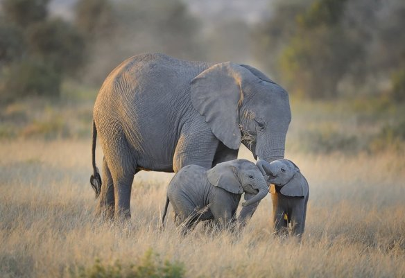 mother-elephant-with-twins-in-amboseli-national-park-kenya-photography-by-dianasch