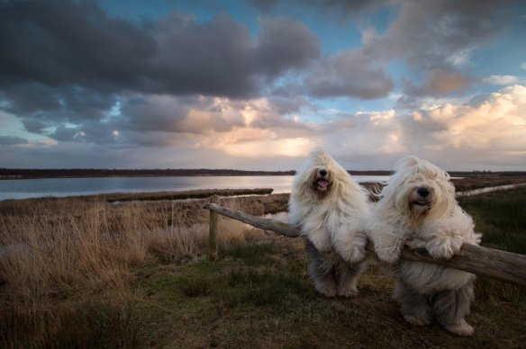 sheepdog-sisters-posing-together-holland-photography-by-cees-bol