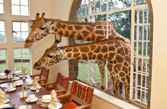 we-have-guests-for-lunch-giraffes-photography-by-giraffe-manor