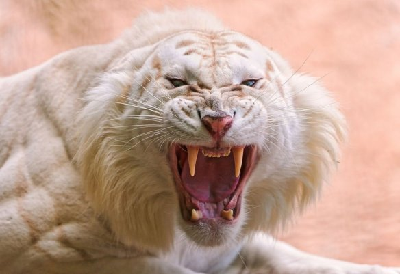 white-lion-fangs-photography-by-peymaster