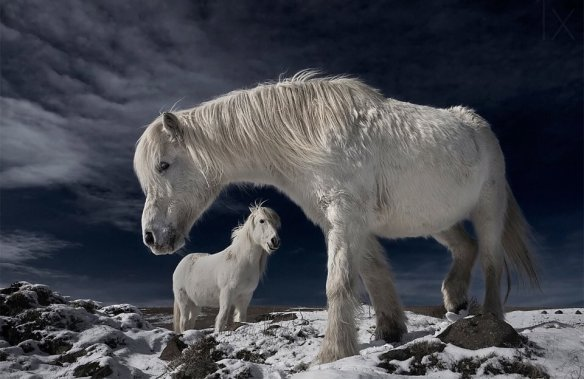 white-wild-horses-iceland-photography-by-bragi-j-ingibergsson