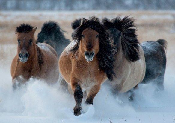 wild-yakutian-horses-photography-by-andrey-kamenev