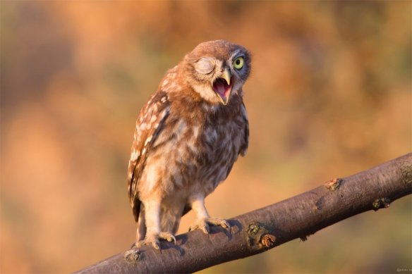 winking-owl-photography-by-andrew-key