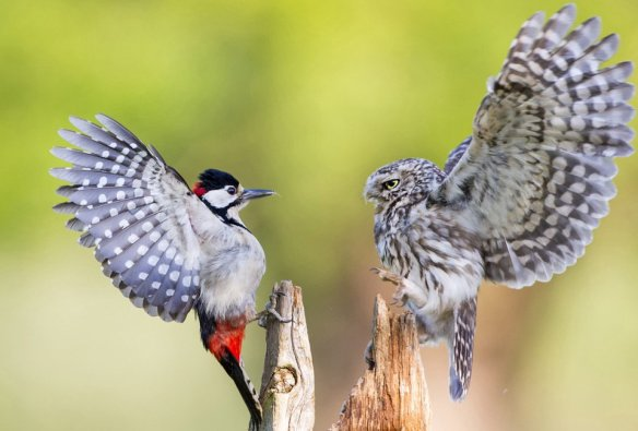 woodpecker-and-a-owl-eye-to-eye-photography-by-ian-schofield