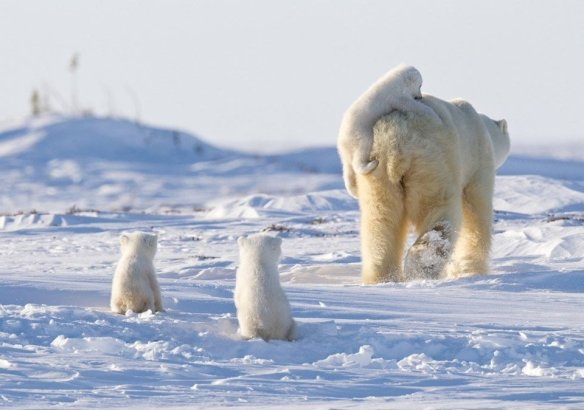 a-happy-family-of-polar-bears-photography-by-nik-zinoviev