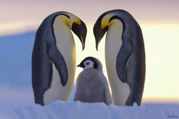a-penguin-family-in-antarctica-photography-by-anneliese-claus-possberg