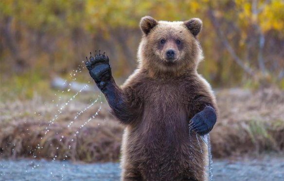 grizzly-bear-says-hello-alaska-photography-by-kevin-dietrich