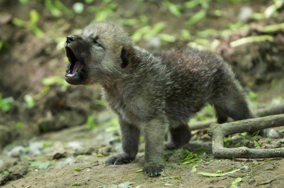 howling-arctic-wolf-cub-photography-by-animal-press