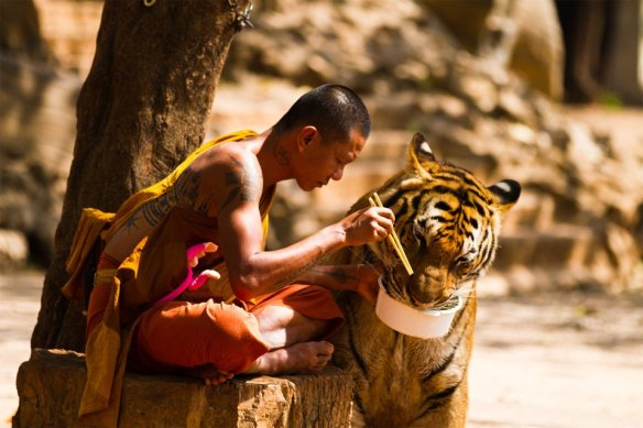 monk-shares-a-meal-with-a-tiger-photography-by-wojtek-kalka
