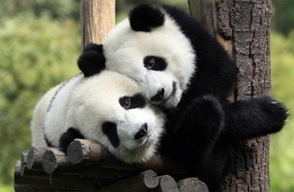 pandas-in-love-photography-by-longxi-hongkou