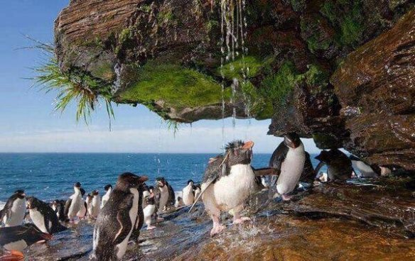 rockhopper-penguins-taking-a-freshwater-shower-in-the-falkland-islands-photography-by-will-burrard-lucas