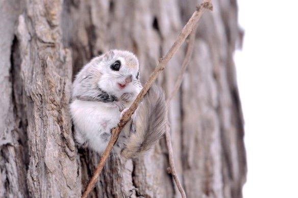 russian-flying-squirrel-photography-by-masatsugu-ohashi