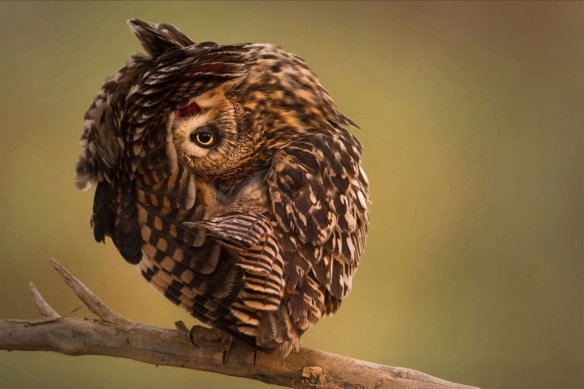 short-eared-owl-relaxing-photography-by-mohd-khorshid