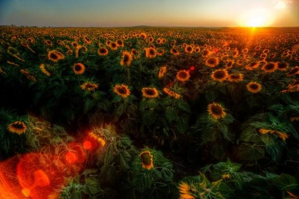 sunflower-sunrise-photography-by-justin-kern