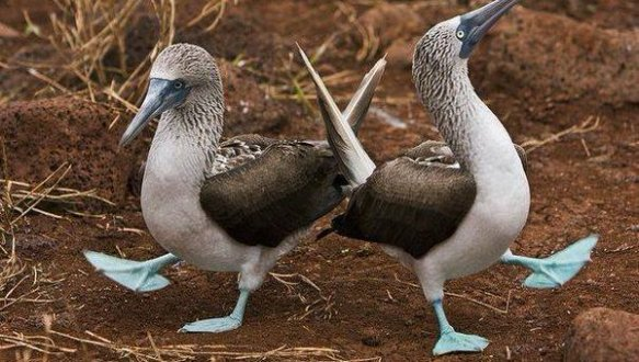 the-mating-dance-of-the-blue-footed-booby-photography-by-michael-nolan