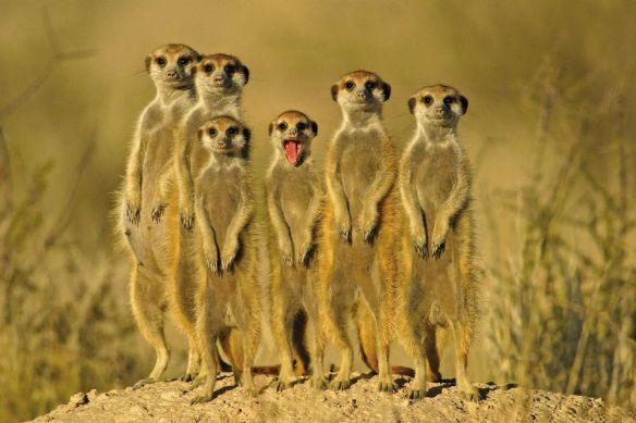 a-meerkat-family-photography-by-matija-kocbek