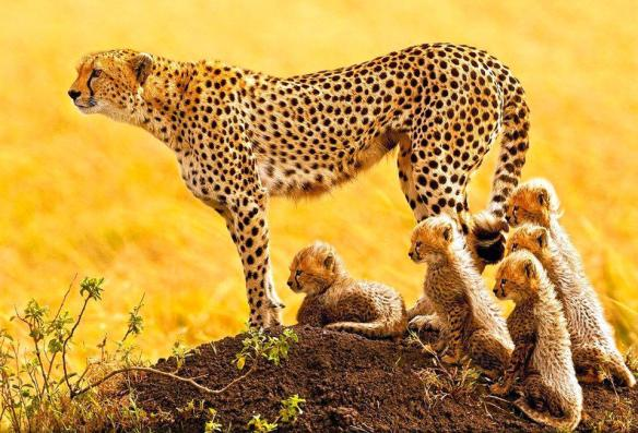 african-cheetah-family-photography-by-stephen-oachs