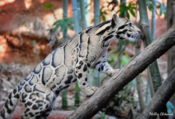 magnificent-clouded-leopard-photography-by-phillip-chitwood