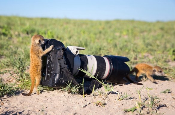 meerkat-takes-photo-photography-by-burrard-lucas