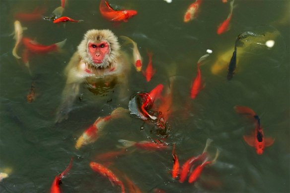 monkey-plays-with-carp-fish-photography-by-reuters