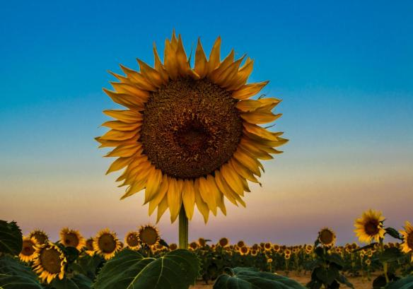 morning-in-the-sunflower-field-photography-by-casey-reynolds