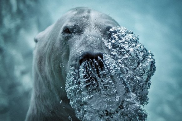 polar-bear-blowing-bubbles-photography-by-jeff-rumans