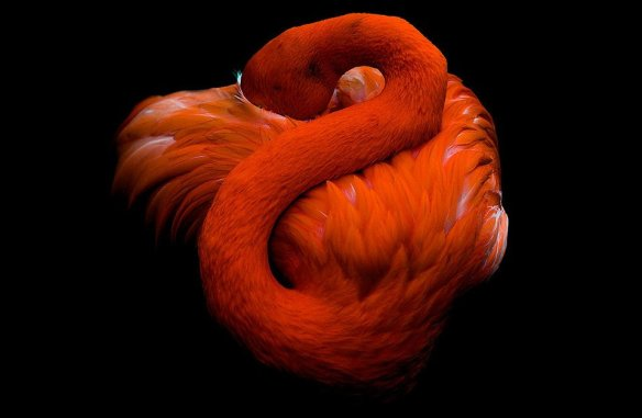 sleeping-flamingo-photography-by-richard-smith