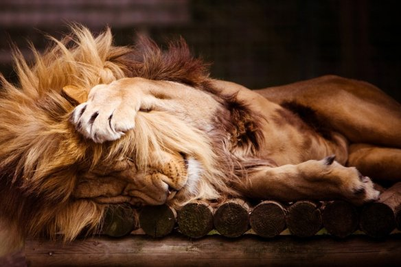 sleepy-lion-photography-by-simon-wrigglesworth
