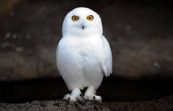 snowy-owl-photography-by-in-cherl-kim
