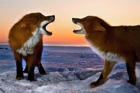two-foxes-snarling-at-each-other-photography-by-sergey-gorshkov