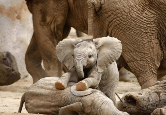 baby-elephant-massaging-his-brother-photography-by-sdbower