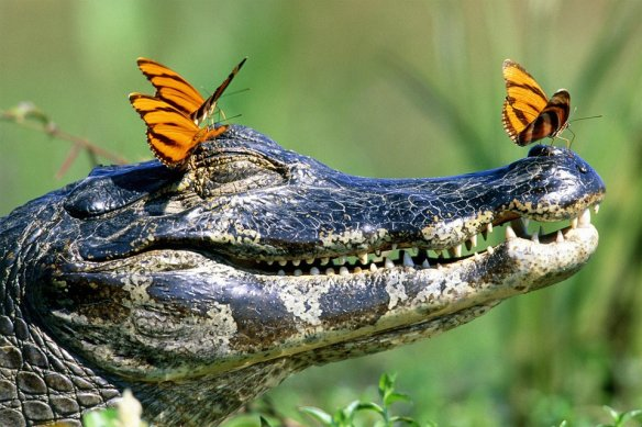 gator-and-the-butterflies-photography-by-frank-lukasseck