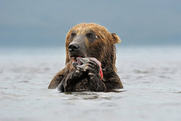 kamchatka-brown-bear-catches-lunch-photography-by-marco-poggioni