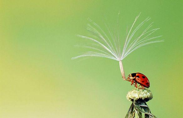 ladybug-holds-dandelion-seed-photography-by-hoang-hiep-nguyen