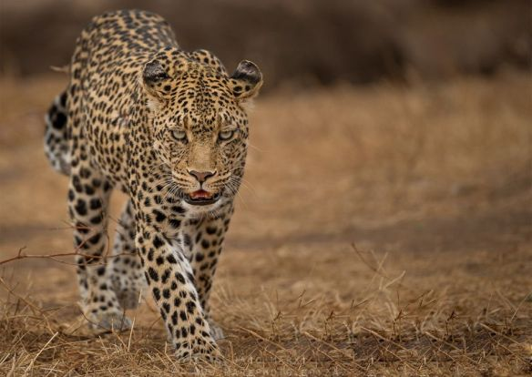 leopard-walk-botswana-photography-by-jaco-marx