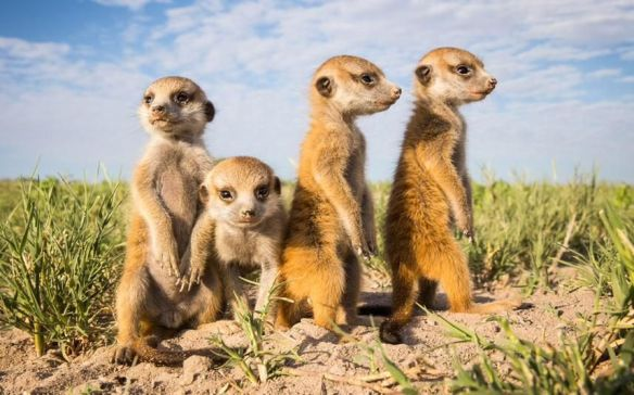 meerkat-are-ready-to-take-a-picture-botswana-photography-by-will-burrard-lucas