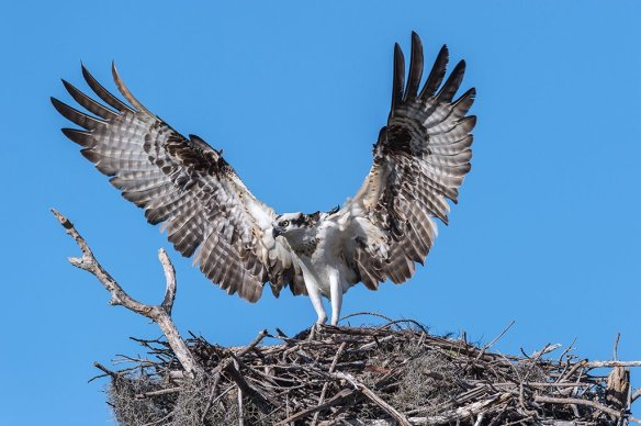 osprey-protecting-its-nest-near-flamingo-bay-everglades-photography-by-dianasch