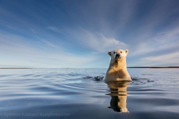 swimming-polar-bear-in-gulf-of-alaska-photography-by-kyriakos-kaziras