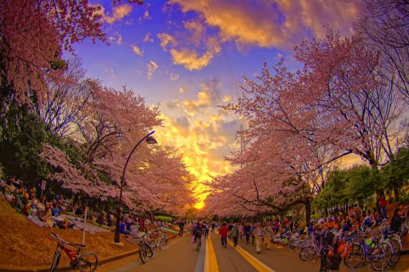 tokyo-cherry-blossom-photography-by-altus-wilder