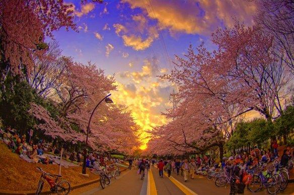 tokyo-cherry-blossom-photography-by-altus-wilder