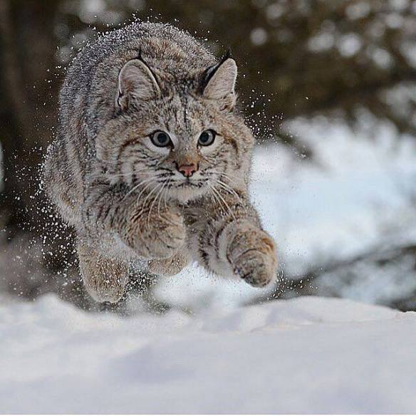 young-bobcat-photography-by-jeff-wendorff