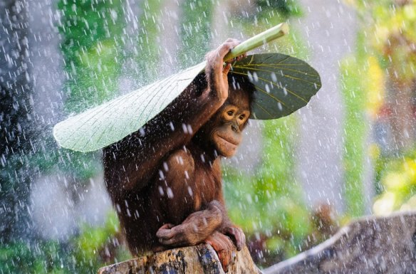 young-orangutan-covering-himself-from-the-rain-photography-by-andrew-suryono