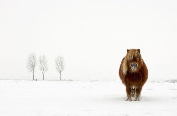a-proud-pony-in-winter-photography-by-gert-van-den-bosch