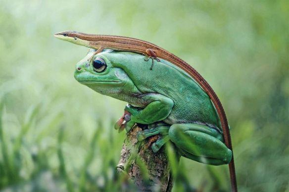 frog-wearing-a-lizard-photography-by-suyud-wahyudin
