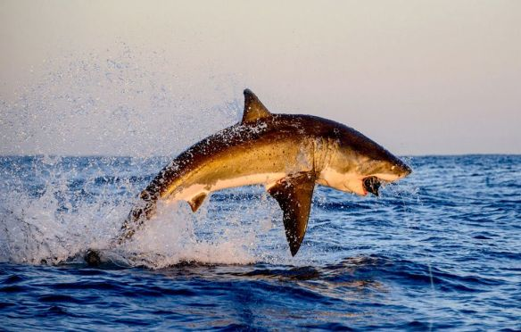 great-white-shark-jumping-photography-by-thomas-pepper
