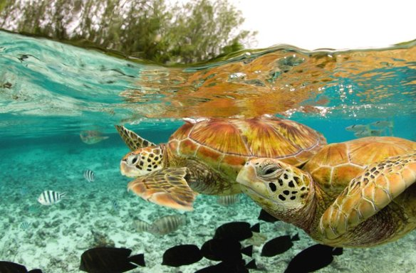 green-sea-turtles-bora-bora-photography-by-michele-westmorland