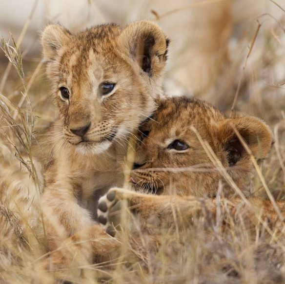 lion-cubs-in-the-masai-mara-kenya-photography-by-dogansoysal